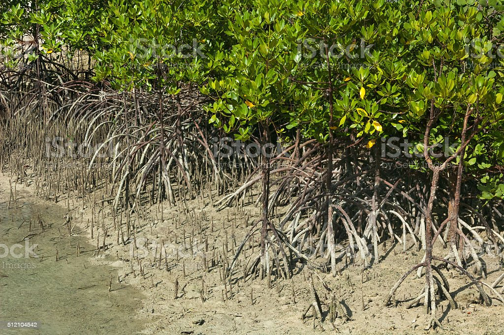 Mangrove shoots and aerial roots stock photo