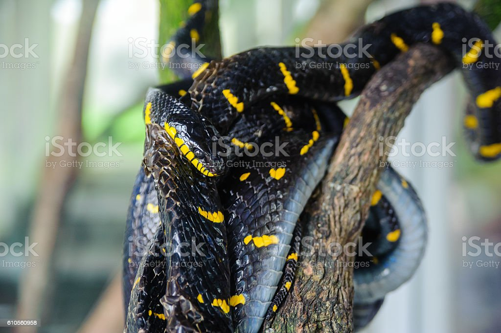 mangrove snake resting on a tree. Snake farm in Thailand stock photo