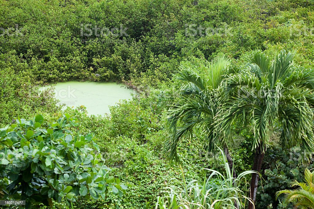 Mangrove swamp with resident iguanas stock photo