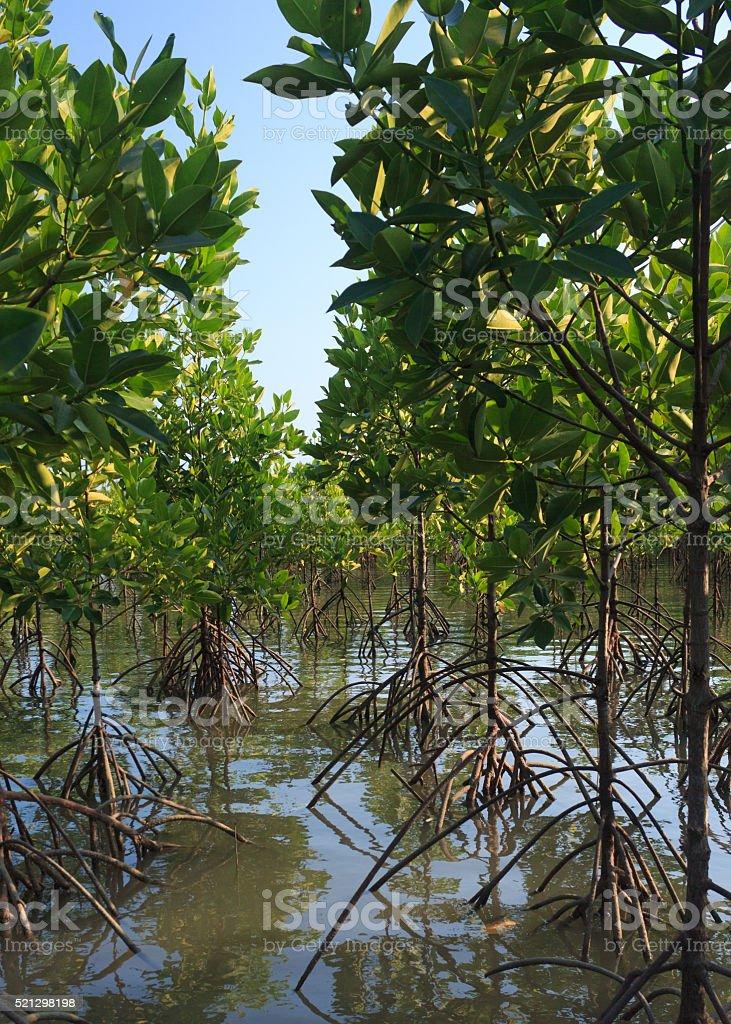Мангр лес Стоковые фото Стоковая фотография