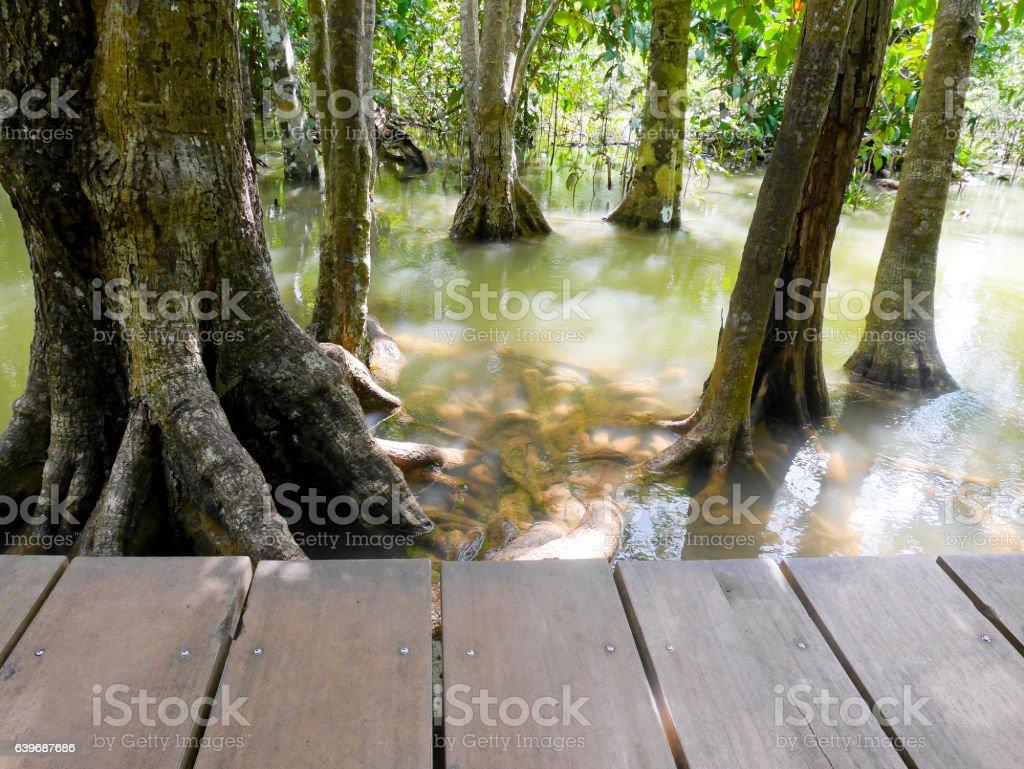 Mangrove tree in brackish water stock photo