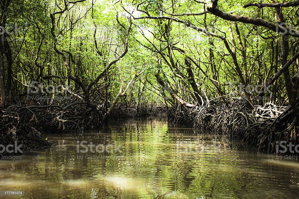 Mangrove tree in Havelock Island, Andamans, India. stock photo