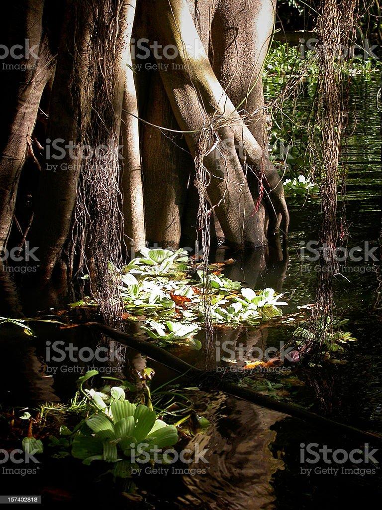 Mangrove tree in the Amazon stock photo