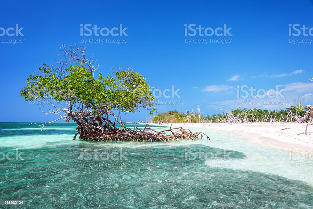 Mangrove tree on the beach of Cayo Levisa island Cuba stock photo