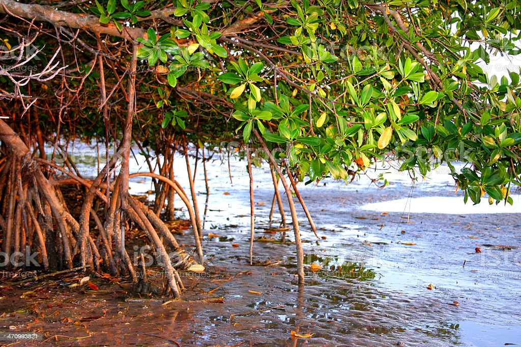 Mangrove tree stretching over the water stock photo