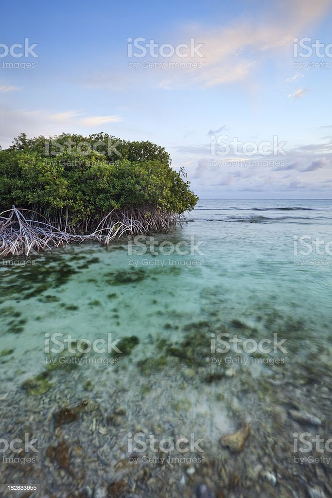 Mangrove trees in a tropical lagoon on Curaçao, Netherlands Antilles royalty-free stock photo
