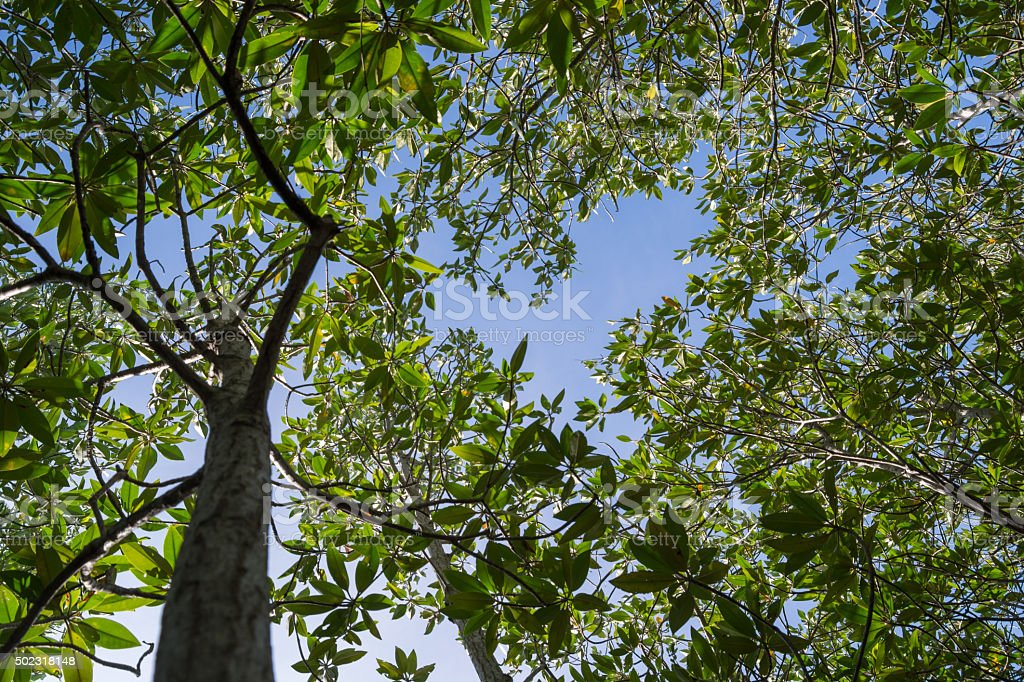 mangrove trees on Sky background stock photo