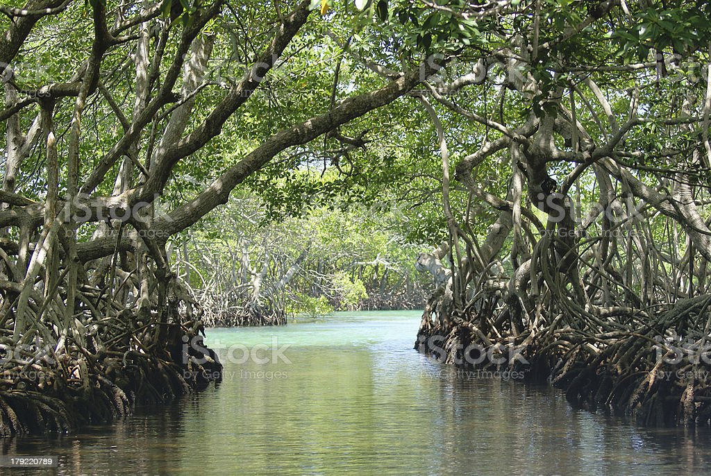 Mangrove Trees Path in Ocean Inlet stock photo