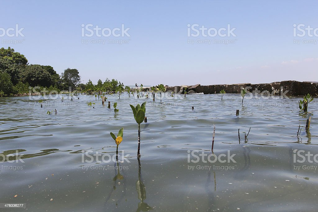 Mangrove Trees royalty-free stock photo