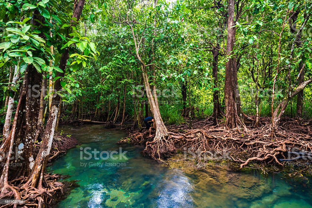 Mangrove trees with the turquoise green water stream stock photo