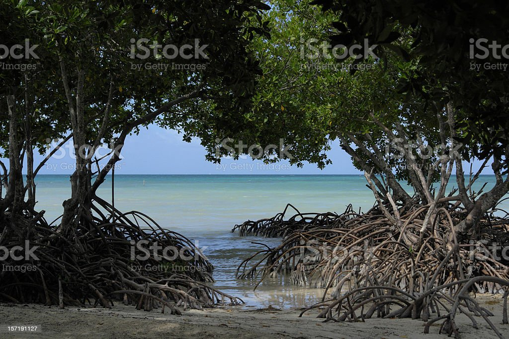 Mangrove View at Spanish Lookout Caye Belize stock photo