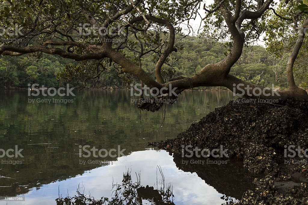 mangroves and oysters royalty-free stock photo