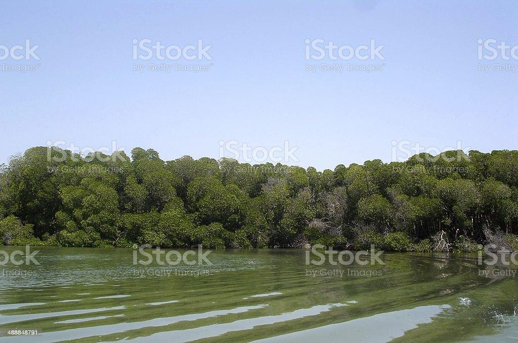 Mangroves in Djibouti royalty-free stock photo
