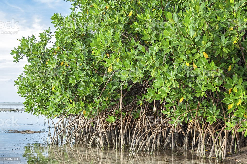 Mangroves in lagoon stock photo