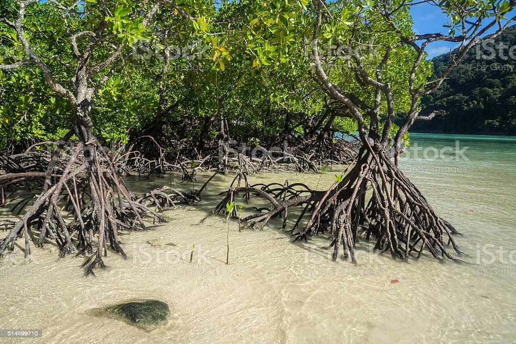 Mangroves stock photo