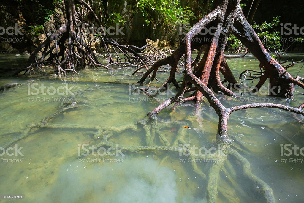Mangroves Roots stock photo