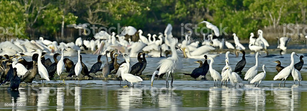 Mangroves with feeding Wading birds. stock photo