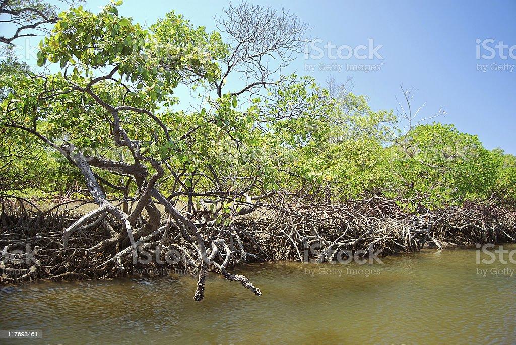 Mangue royalty-free stock photo