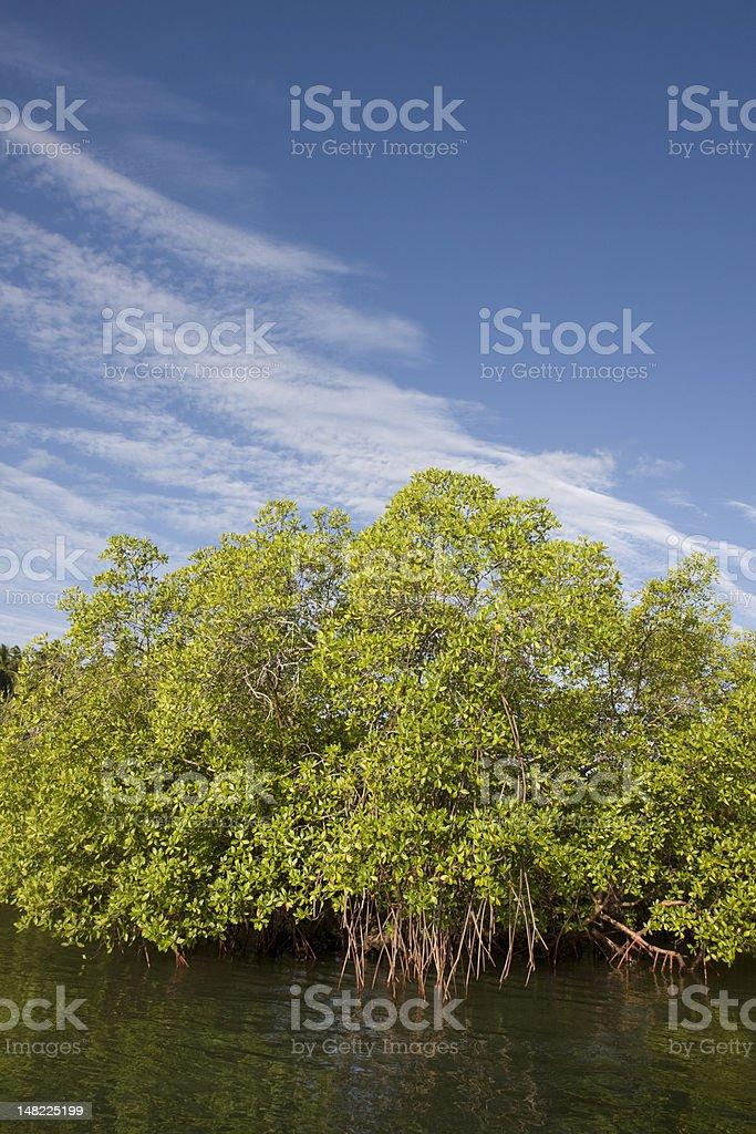 Mangue stock photo
