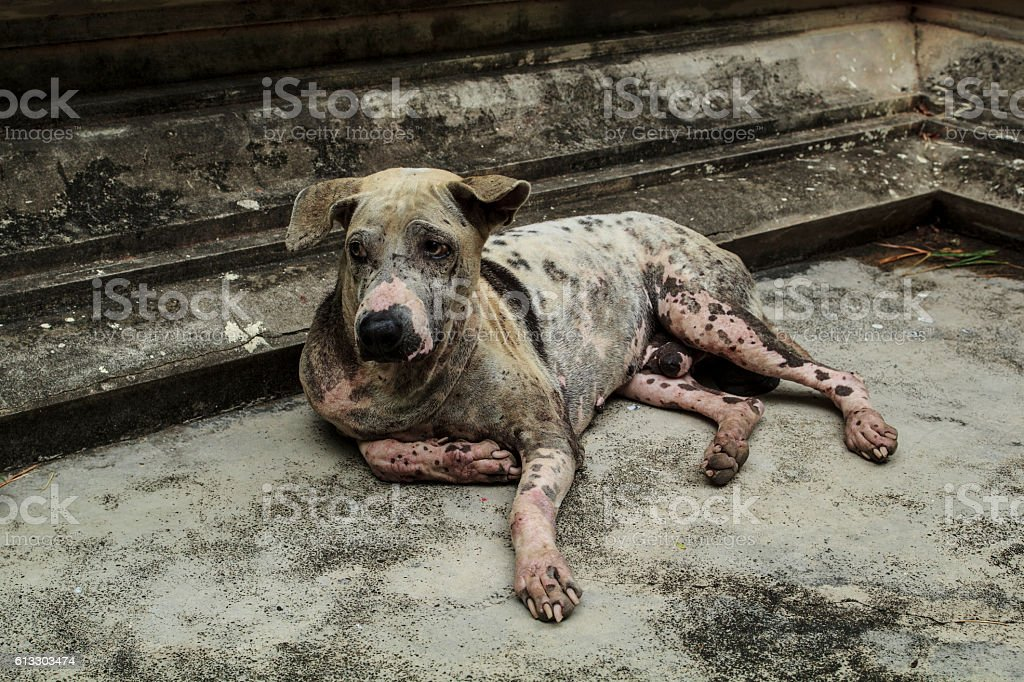 Mangy dog lying on the cement floor. stock photo