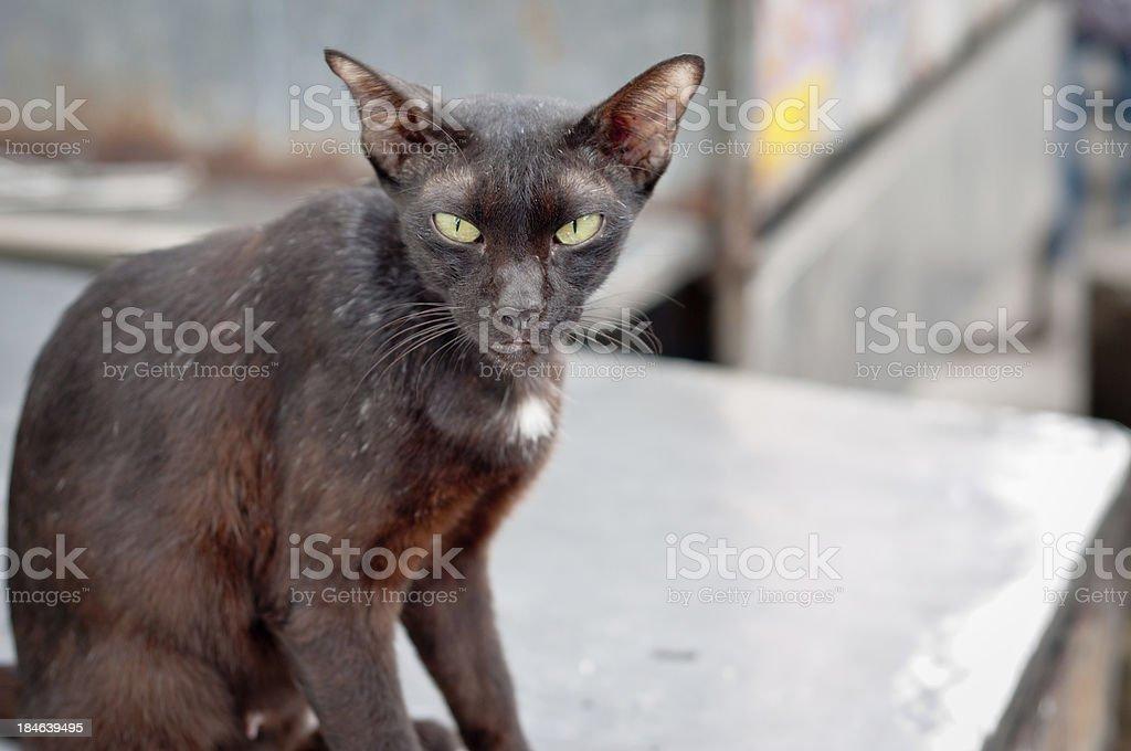 Mangy Looking Stray Siamese Cat stock photo