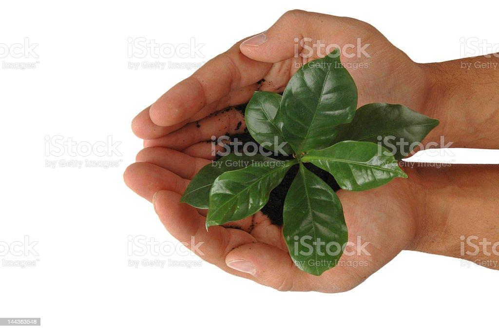 Mani con pianta di caffè stock photo