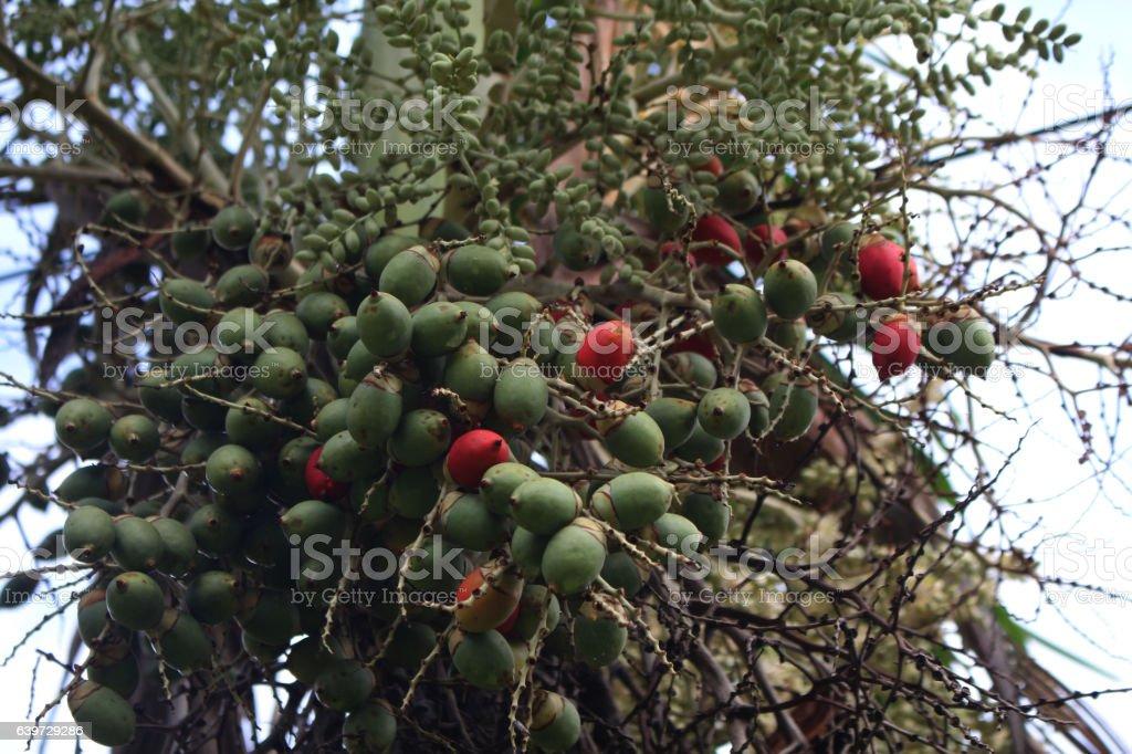 Manila palm stock photo