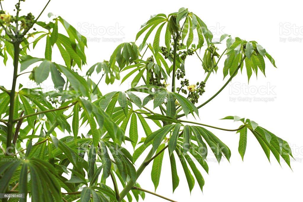 Manioc (Manihot carthaginensis), leaves and buds stock photo