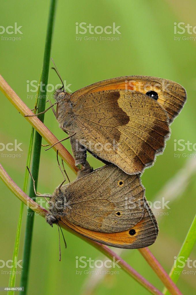 Maniola jurtina, mating stock photo