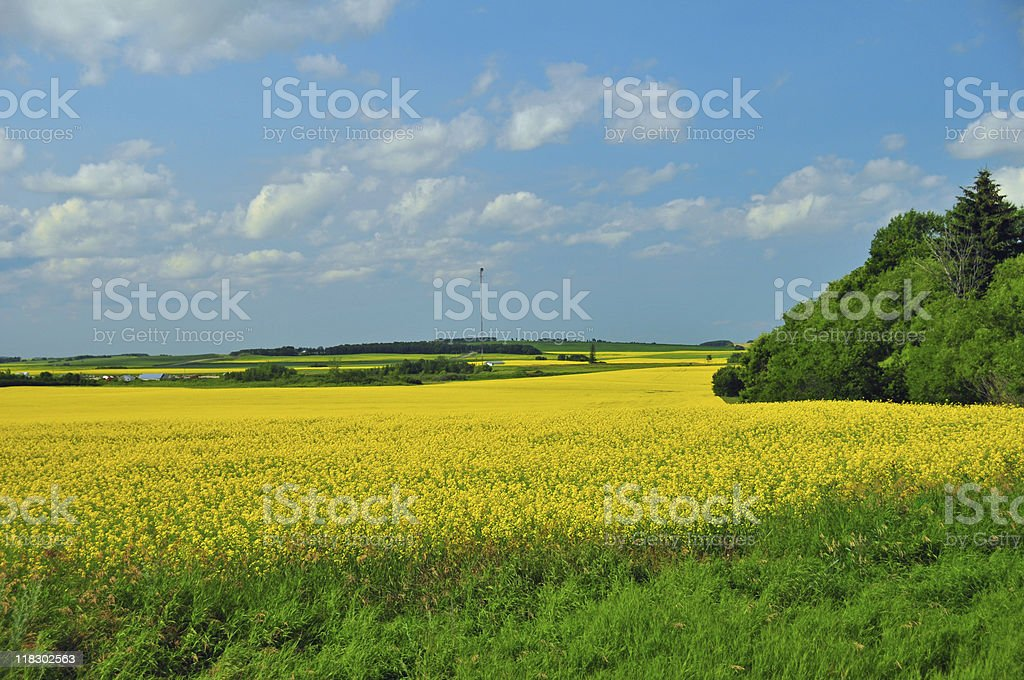 Manitoba Canola Field in Bloom royalty-free stock photo