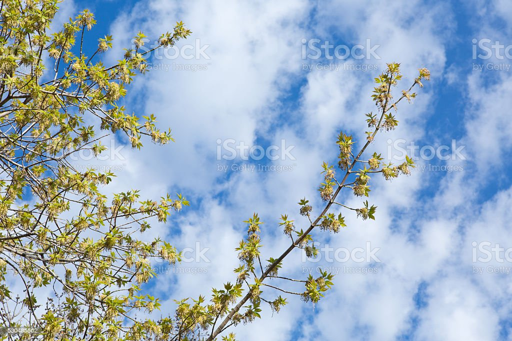 Manitoba maple tree with new leaves in Spring stock photo