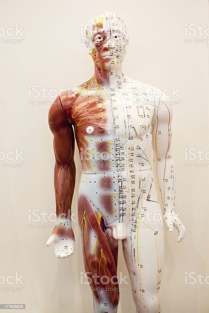 Mannequin body meridians royalty-free stock photo