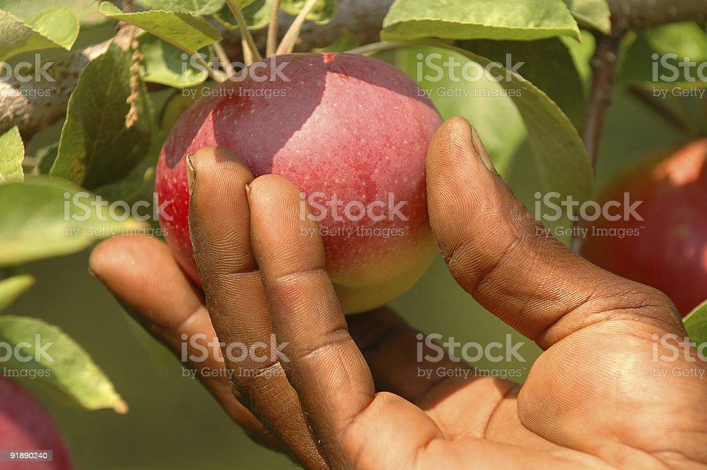 Mans Hand Apple Picking stock photo