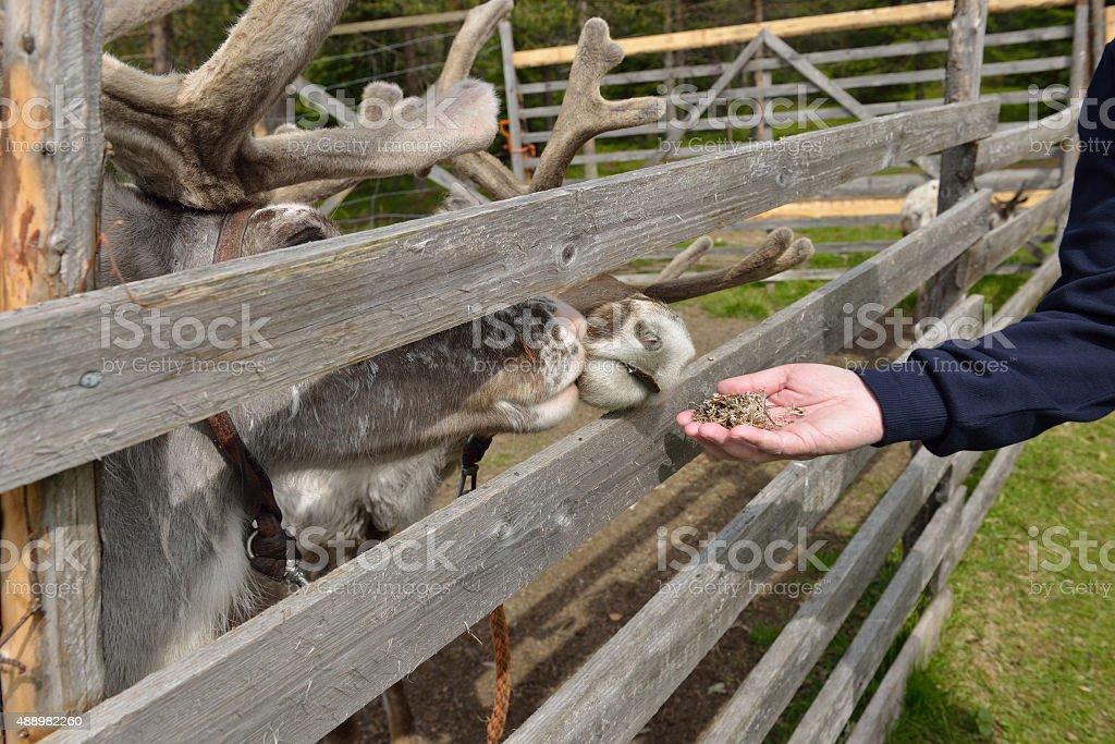 Man's hand gives reindeer moss stock photo