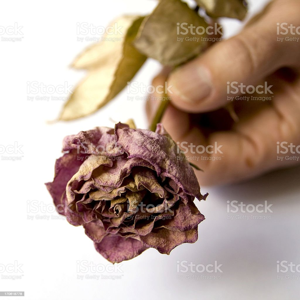 Man's hand holding a dead rose stock photo