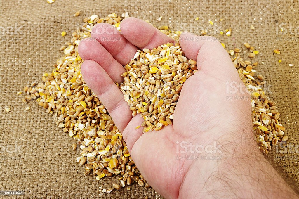 Man's Hand Holding Mixed Grain Against Hessian background stock photo