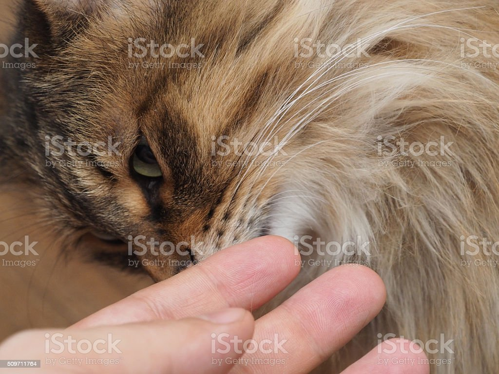 Man's hand stroking pretty contented cat. concept stock photo