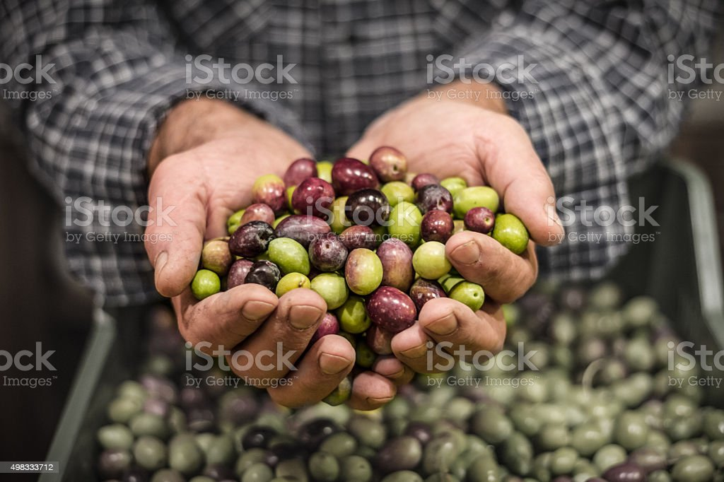 Man's hands holding a handful of olives stock photo