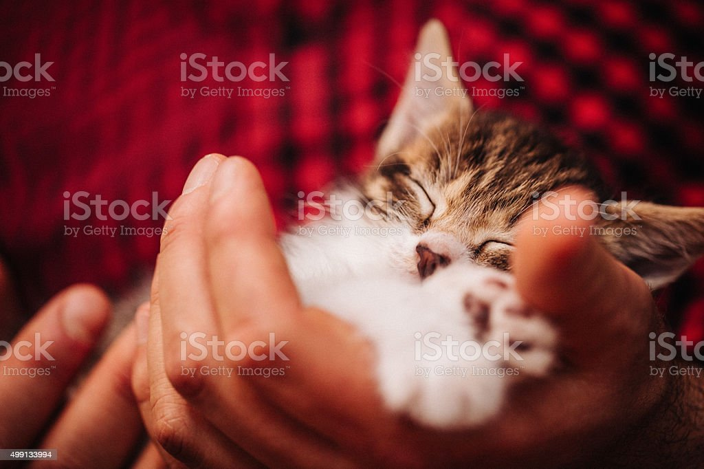 Man's hands holding a safely sleeping little tabby kitten stock photo