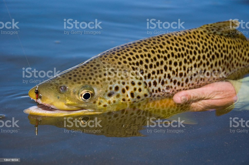 Man's Hands Holding Large Brown Trout in Water stock photo