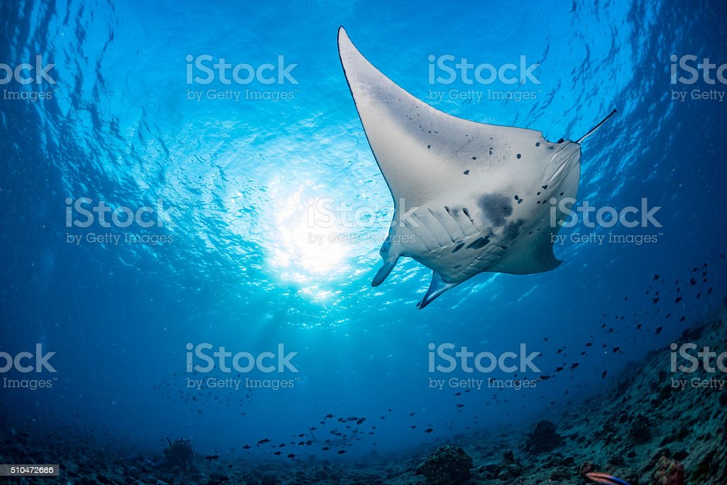 Manta in the blue background stock photo