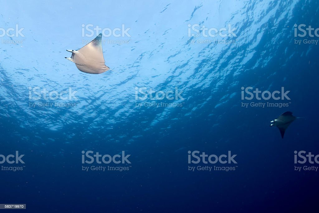 Manta in the blue ocean background portrait stock photo