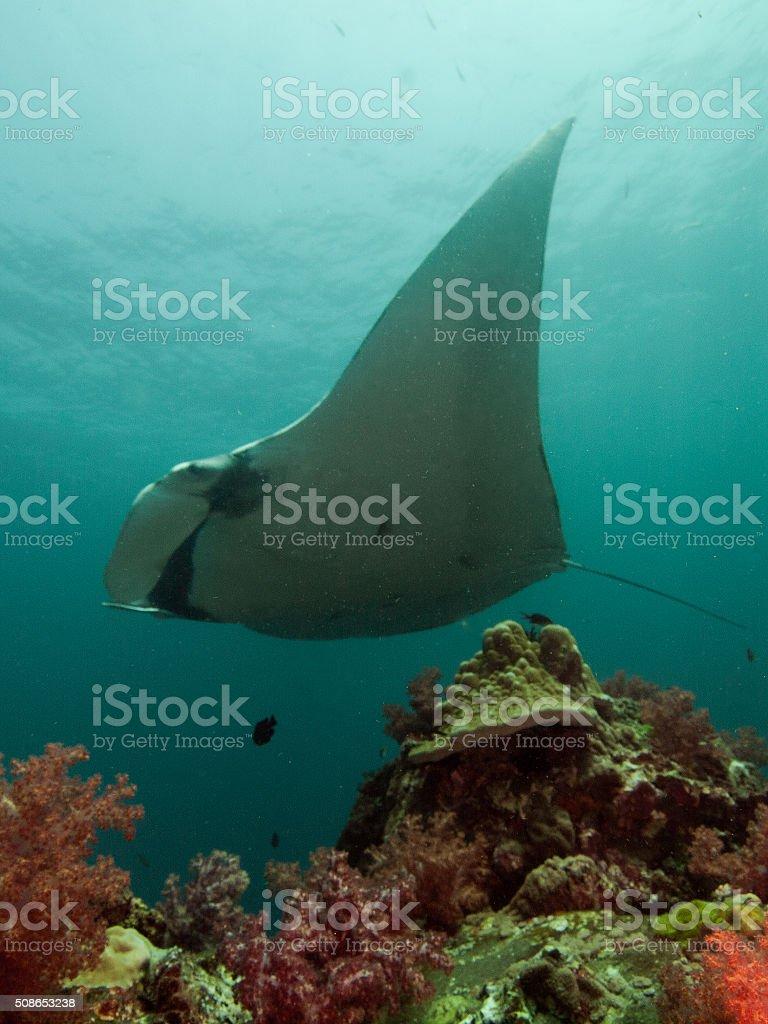 Manta ray on top of Hin Muang stock photo