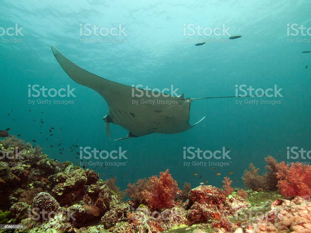Manta ray on top of the reef stock photo