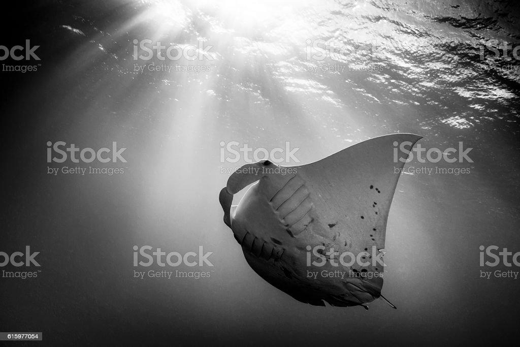 Manta Ray - Palau, Micronesia stock photo