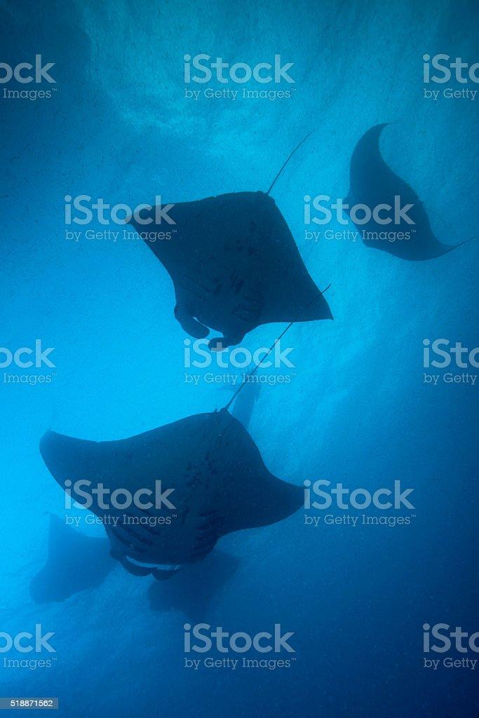 Manta Rays and Plankton - Palau, Micronesia stock photo