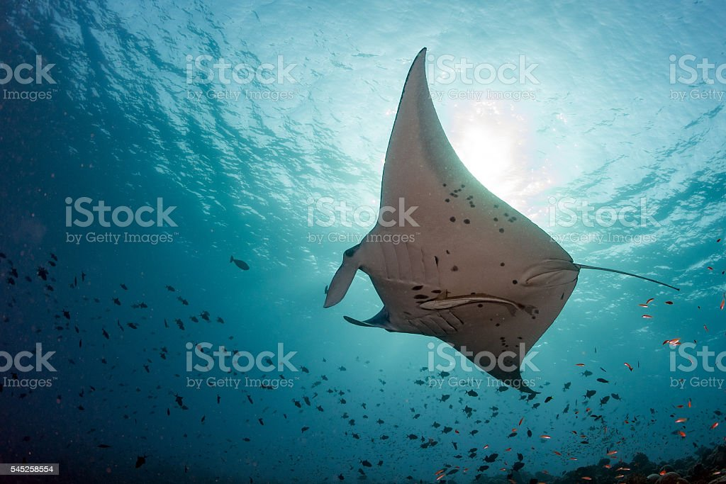 Manta underwater in the blue ocean background stock photo
