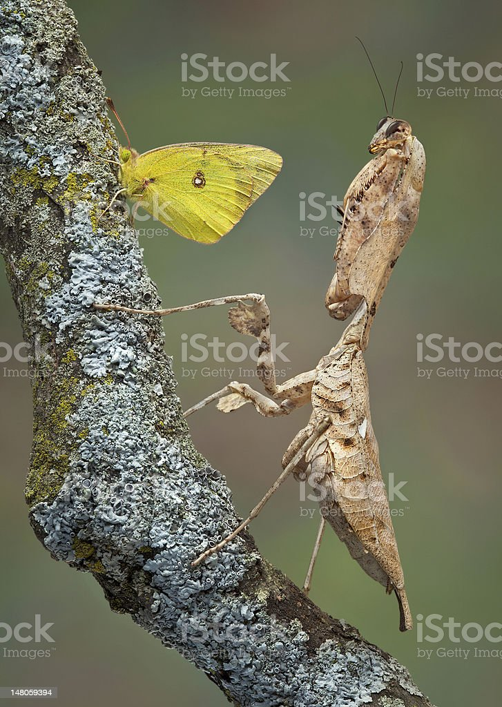 Mantis and butterfly stock photo
