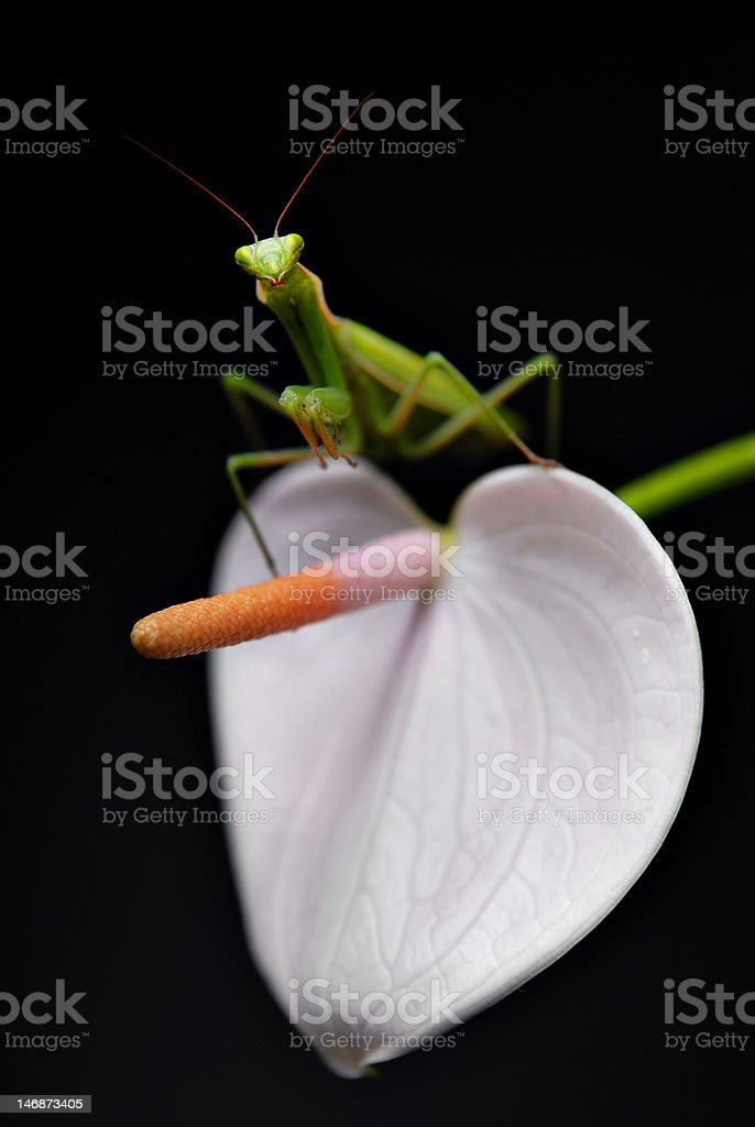 Mantis and flower royalty-free stock photo