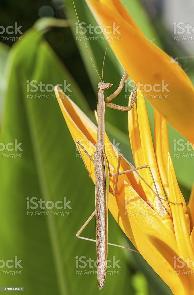 Mantis and the bird of paradise flower royalty-free stock photo